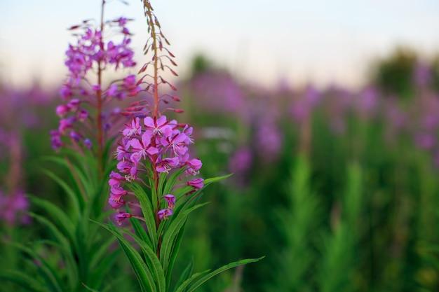 Flores de salgueiro-erva na natureza turva.