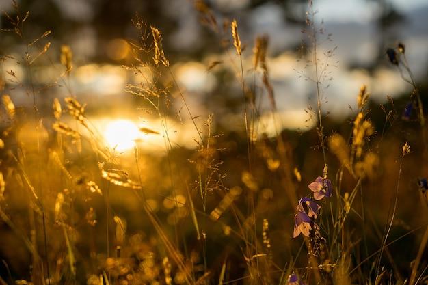Flores de sino azuis ao sol. campo de belo prado com flores silvestres close-up.