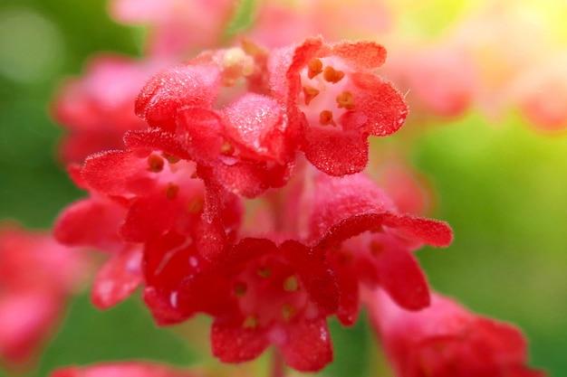Flores de sinos vermelhos em um verde brilhante turva vegetal na luz solar.