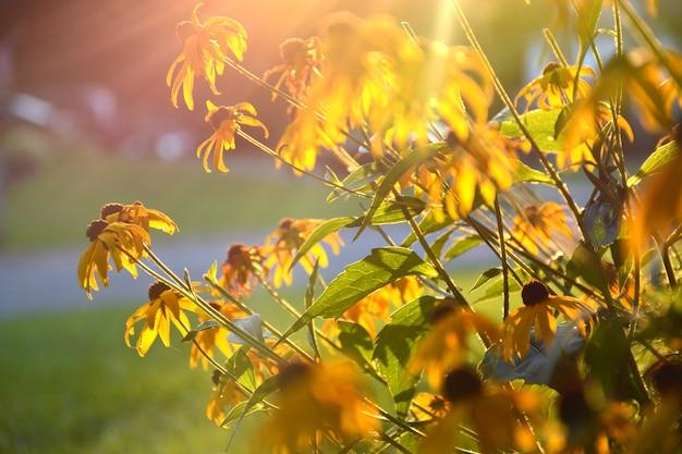 Flores de susan de olhos pretos, rudbeckia amarelo brilhante, foco suave