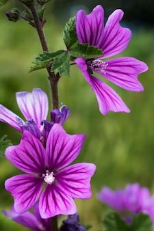 Flores de sylvestris de malva.