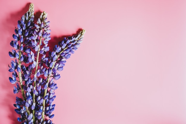 Flores de tremoço na cor lilás azul em plena floração em um plano de fundo rosa leigo. espaço para texto