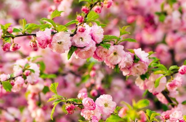 Flores de triloba de prunus.