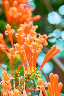 Flores de trombeta alaranjadas de florescência ou videira do Fogo-biscoito com fundo verde natural.
