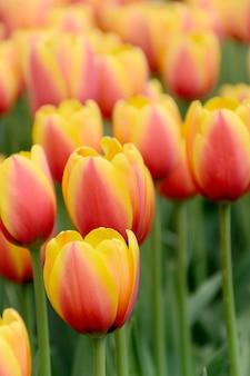 Flores de tulipa com foco seletivo suave