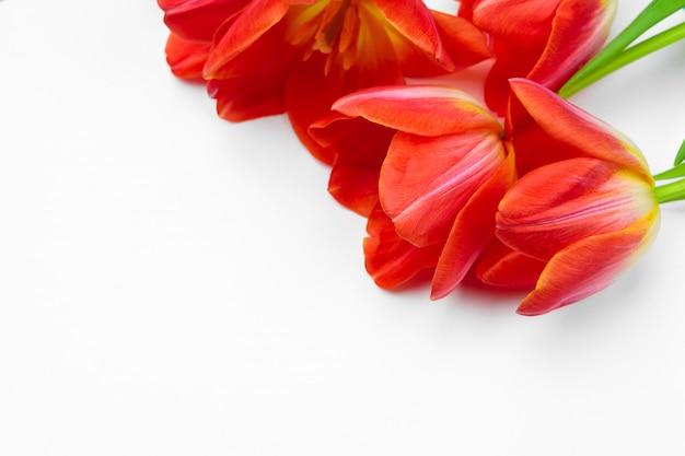 Flores de tulipa fresca isoladas