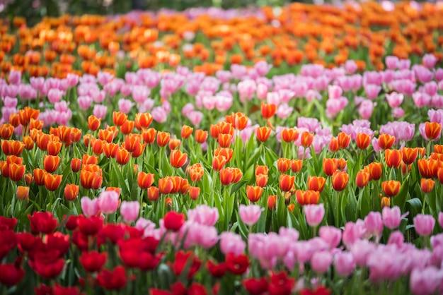 Flores de tulipa no jardim
