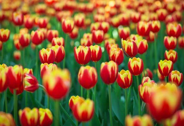 Flores de tulipa no parque