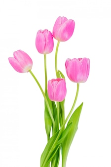Flores de tulipa rosa isoladas em um caminho de recorte de fundo branco