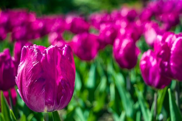 Flores de tulipa roxa colorida em um canteiro de flores no parque da cidade
