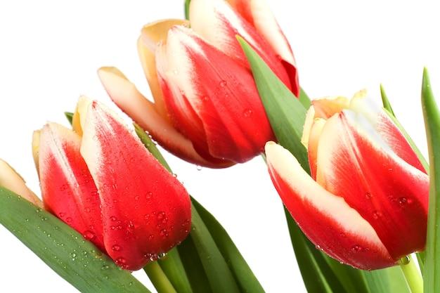 Flores de tulipa vermelha e branca nas férias de primavera em fundo claro