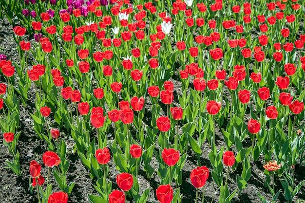 Flores de tulipa vermelha