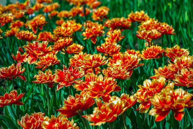 Flores de tulipa vermelho-laranja colorida em um canteiro de flores no parque da cidade