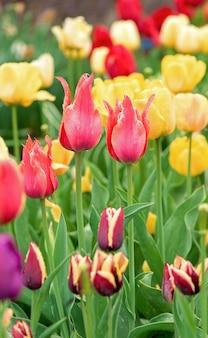 Flores de tulipas em um desfoque de fundo da natureza. fundo de primavera