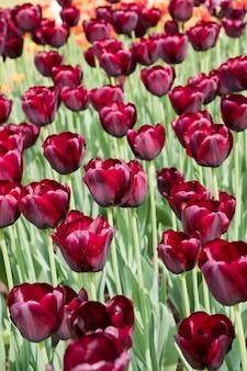Flores de tulipas pretas coloridas florescendo em um jardim