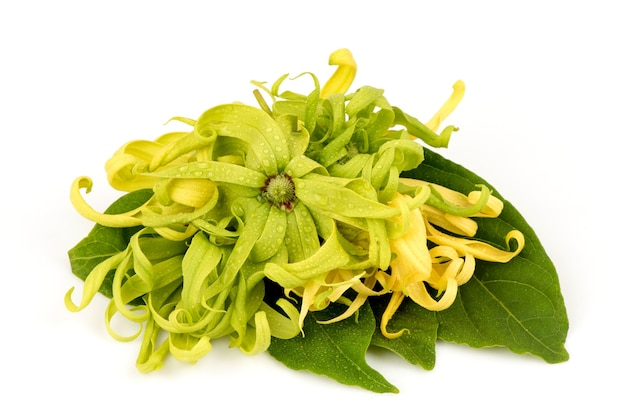 Flores de ylang-ylang ou cananga odorata isoladas no branco