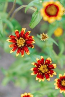 Flores de zínia vermelhas e amarelas no jardim de verão