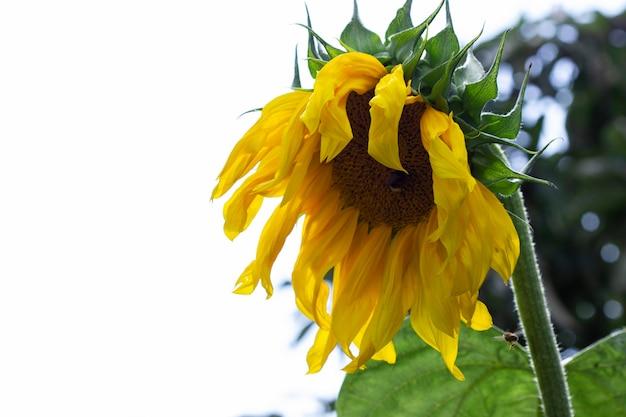 Flores decorativas de girassol no jardim de verão. foco seletivo.