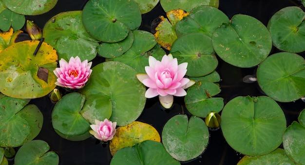 Flores delicadas brilhantes nenúfares entre folhas verdes na água