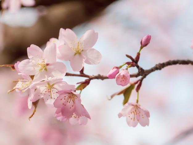 Flores delicadas da árvore da primavera. foco seletivo suave