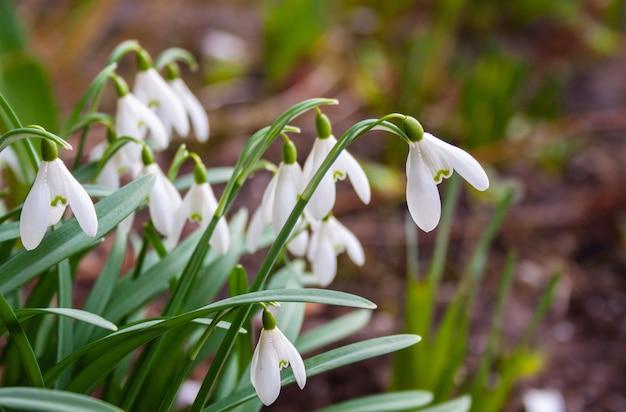 Flores delicadas de pingos de neve no início da primavera no jardim