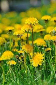 Flores dente de leão com folhas na grama verde, foto de primavera