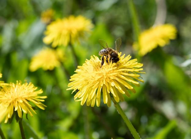 Flores dente de leão do prado, fundo da natureza
