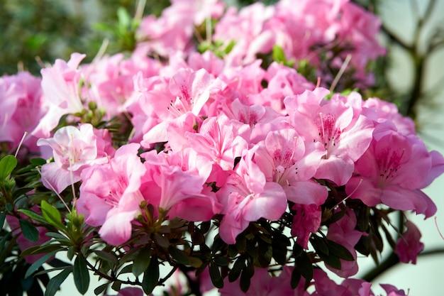 Flores desabrocham azáleas, botões de rododendro rosa sobre fundo verde, cenário de primavera