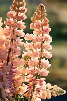 Flores desabrocham de tremoço. campo de tremoço. luz do sol brilha em plantas. primavera rosa e flores de verão.
