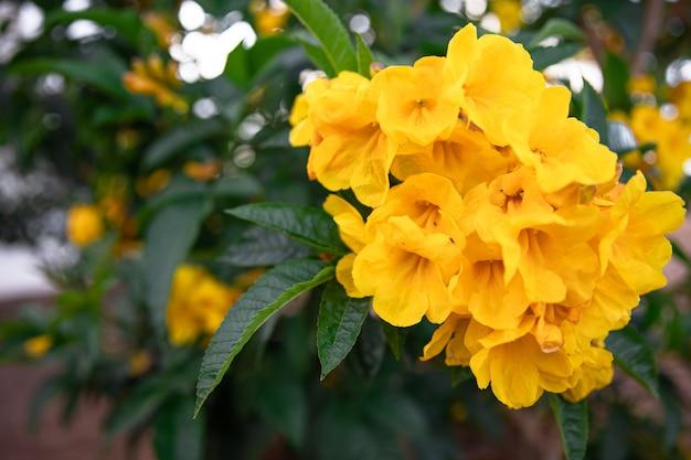 Flores desabrochando amarelas em um close-up da árvore. plantas exóticas do egito.