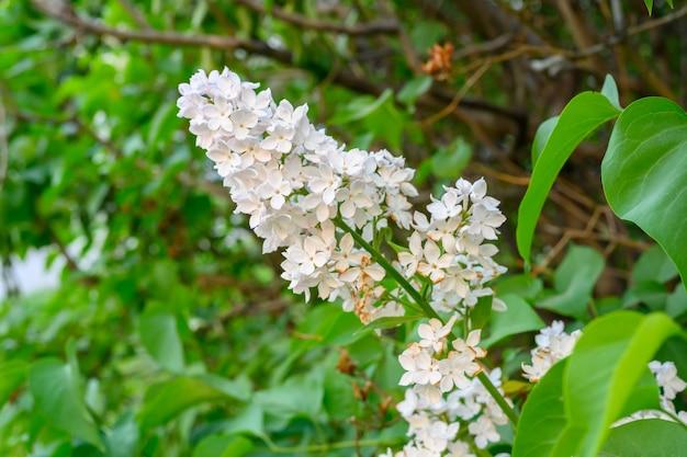 Flores desabrochando da primavera. lindas flores de árvore lilás. o conceito de primavera. os ramos lilás de uma árvore no jardim.