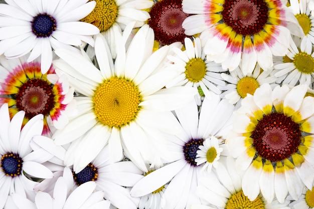 Flores desabrochando daisy, camomila close-up