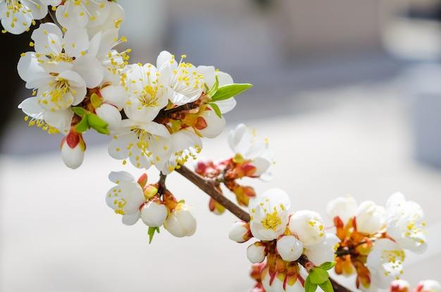 Flores desabrochando de árvores de damasco de frutas com foco seletivo e profundidade de campo, tonificação artística
