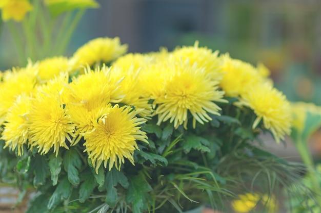 Flores desabrochando de crisântemo amarelo em um jardim
