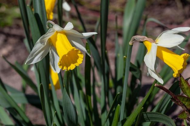 Flores desabrochando de narcisos na macro fotografia