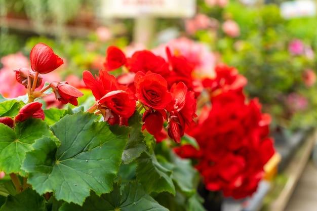 Flores desabrochando de roseira vermelha em loja de plantas