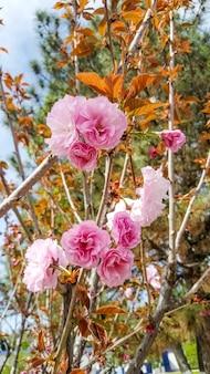 Flores desabrochando de sakura em tom lilás cartão olá primavera conceito