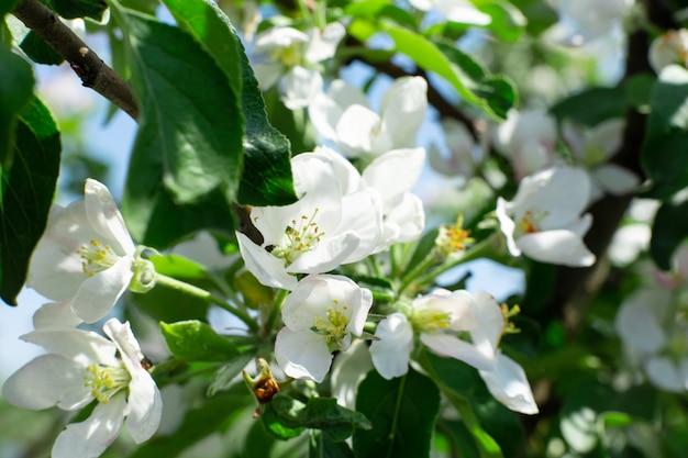 Flores desabrochando em galhos de árvores de maçã