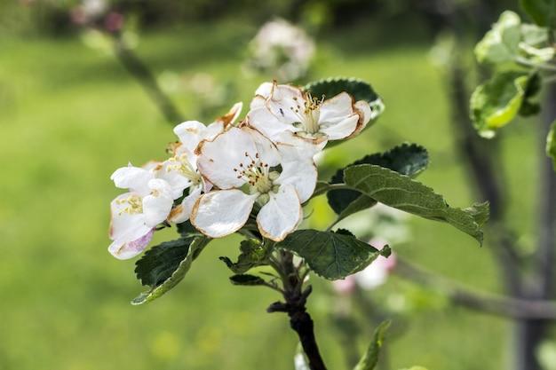 Flores desabrochando em uma macieira