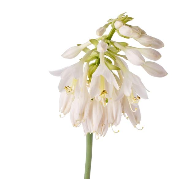 Flores desabrochando hosta