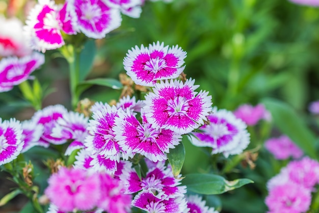 Flores dianthus chinensis
