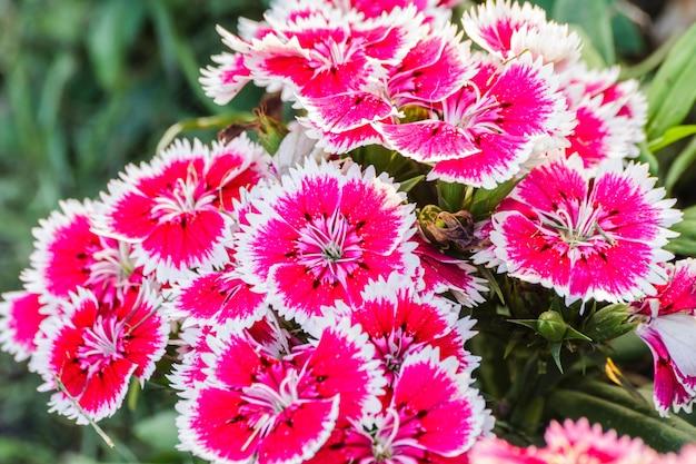 Flores dianthus chinensis.