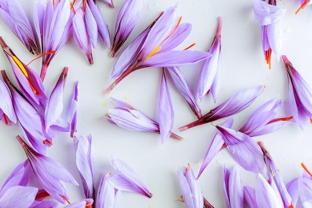 Flores dispersas de açafrão roxo outonal em um fundo branco.