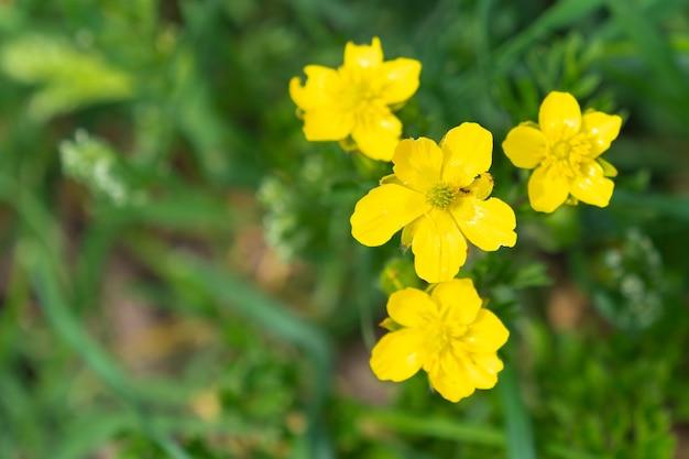 Flores do botão de ouro de perto