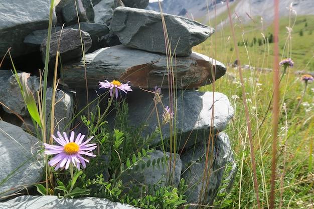 Flores do campo da montanha que crescem na rocha