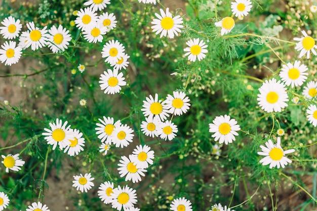 Flores do campo de camomila. cena da natureza lindo de verão com chamomilles médicas florescendo em reflexo do sol. flores de ervas
