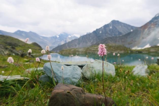 Flores do campo de montanha no fundo das montanhas e do lago