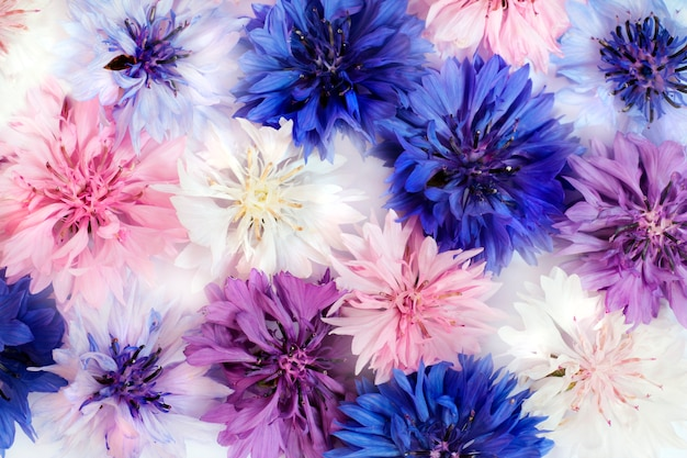 Flores do campo e do prado centáureas de cores diferentes