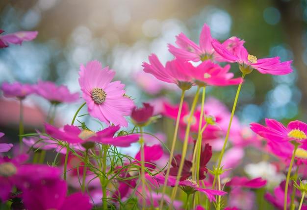 Flores do cosmos no jardim com luz solar. tom vintage