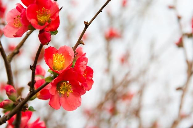 Flores do jardim marmelo floresceu na primavera